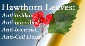 Yorkville Chiropractic and Wellness Centre presents new research regarding the flavonoids of the hawthorn tree leaves' extract that are antioxidant, antibacterial, antimicrobial and anti-cell death.